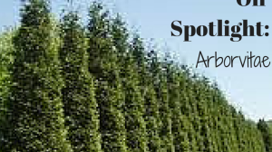 Essential Oil Spotlight: Arborvitae